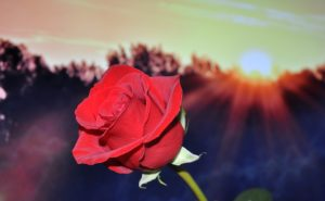 rose-670447_960_720